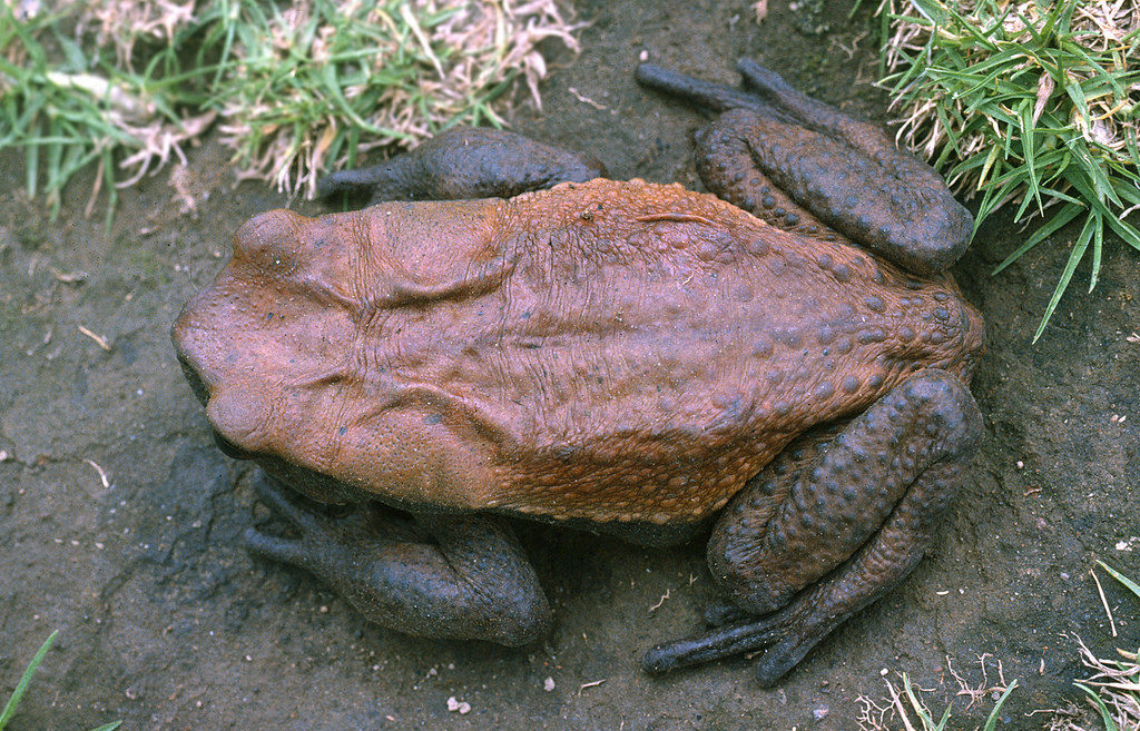 Blomberg's Toad