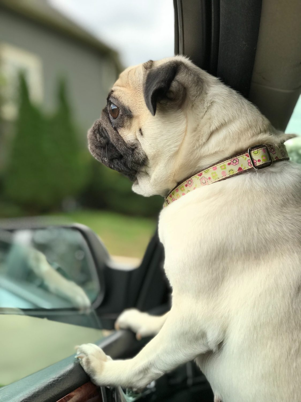 Save a Dog Pug in a Car Photo by Jordan Negron on Unsplash